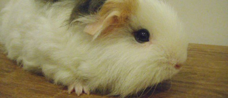 Guinea Pig Dental Disease