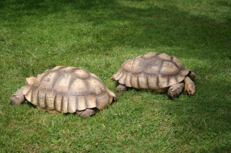 Husbandry of Land Tortoises