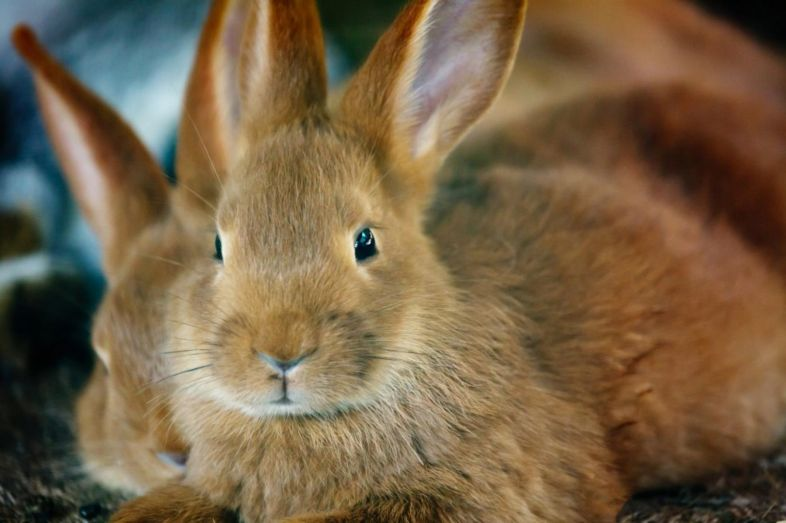Desexing of rabbits can reduce stress, aggression and the chance of cancer.