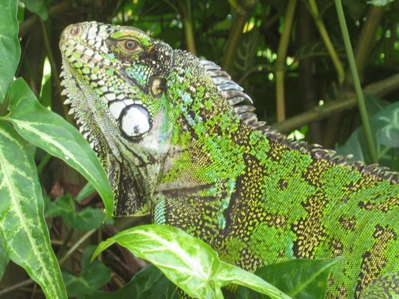 Husbandry of your Green Iguana